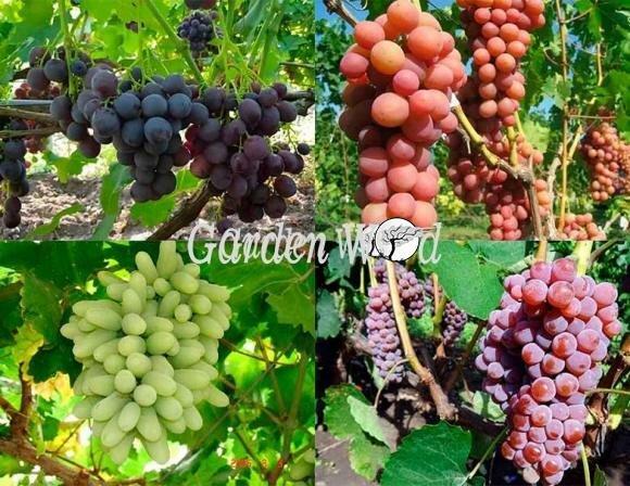 Виноград Выбор дачника