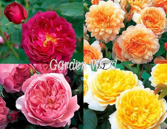 Набор английских роз