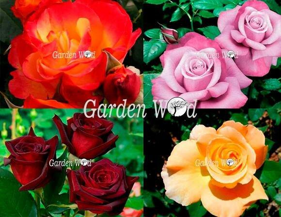 Чайно Гибридный Набор Роз