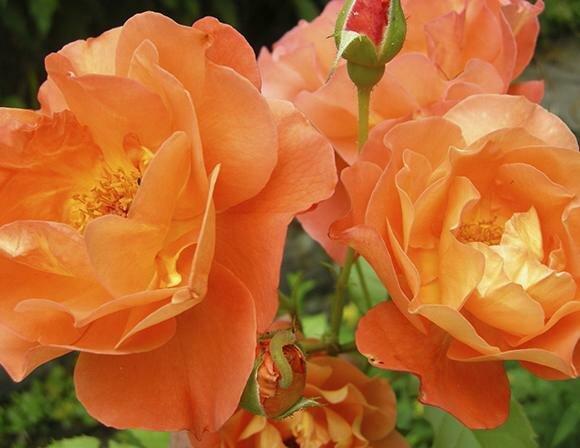 Orange-Fairy